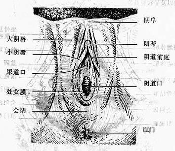 各年令女性生殖器图_图1 女性外生殖器